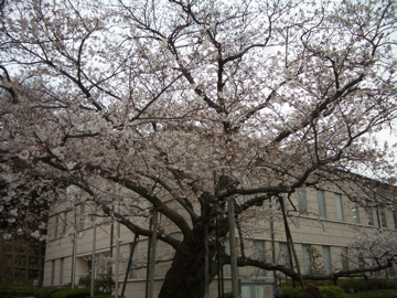 0326sakura2.jpg